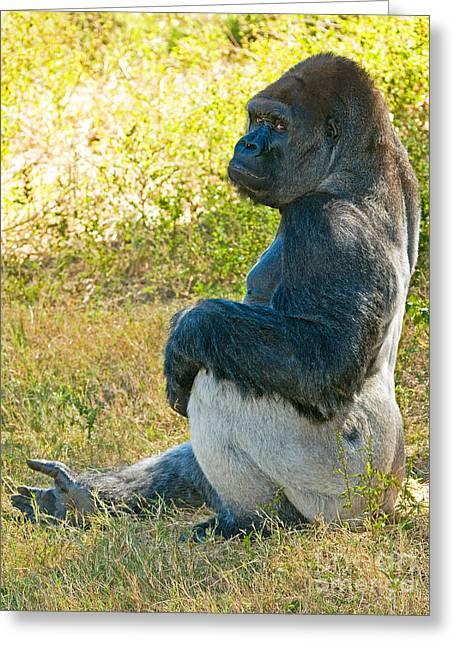 Critically Endangered Species Greeting Cards - Western Lowland Gorilla Greeting Card by Millard H. Sharp