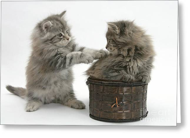 House Pet Greeting Cards - Maine Coon Kittens Greeting Card by Mark Taylor