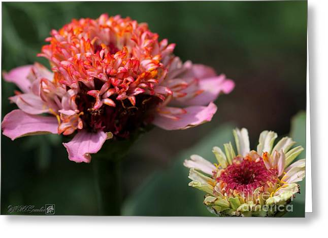 Floral Digital Art Digital Art Greeting Cards - Zinnia from the Candy Mix Greeting Card by J McCombie