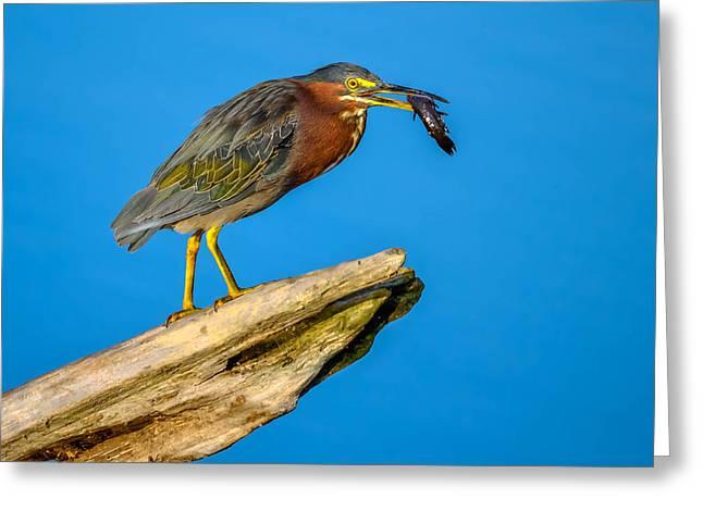 Hunting Bird Greeting Cards - Green Heron Greeting Card by Brian Stevens