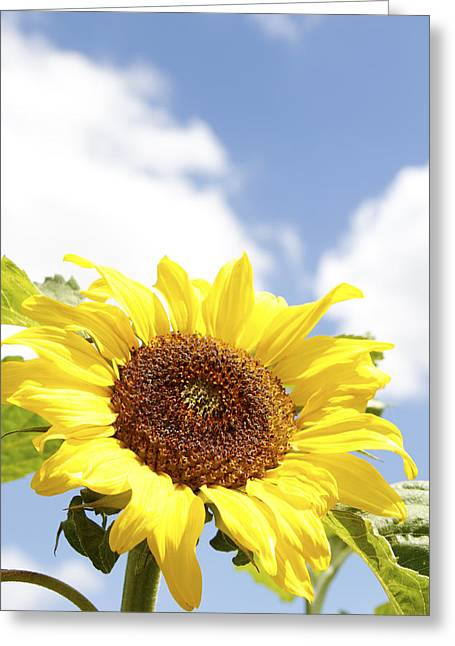 Beauty Greeting Cards - Sunflower Greeting Card by Les Cunliffe