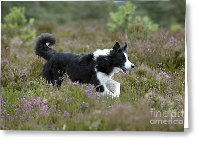 Dog Trots Photographs Greeting Cards - Border Collie Greeting Card by John Daniels