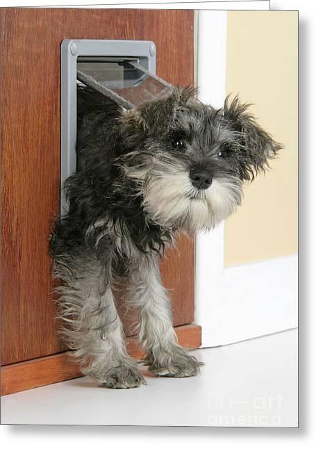 Doggies Greeting Cards - Schnauzer Puppy Dog Greeting Card by John Daniels