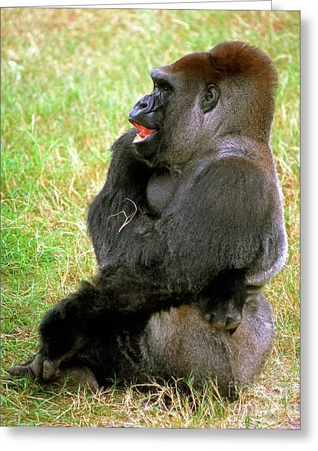 Gorilla Photographs Greeting Cards - Western Lowland Gorilla Greeting Card by Millard H. Sharp