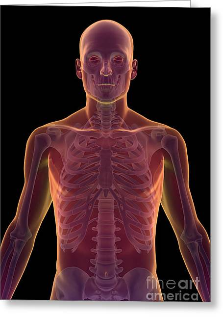 Rib Cage Greeting Cards - Bones Of The Upper Body Greeting Card by Science Picture Co