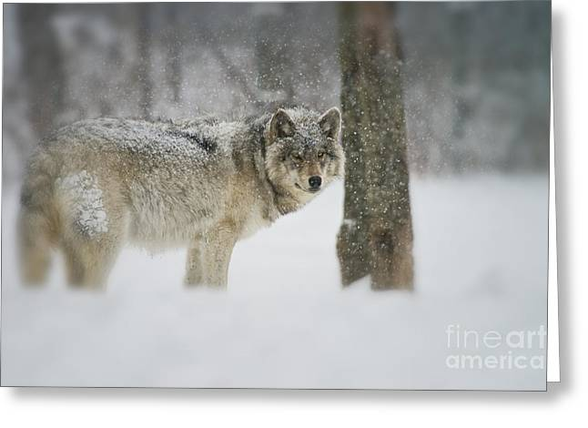 Timber Wolf Pictures Greeting Card by Michael Cummings