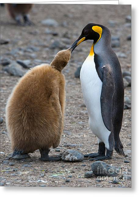 Feeds Chicks Greeting Cards - King Penguins Greeting Card by John Shaw
