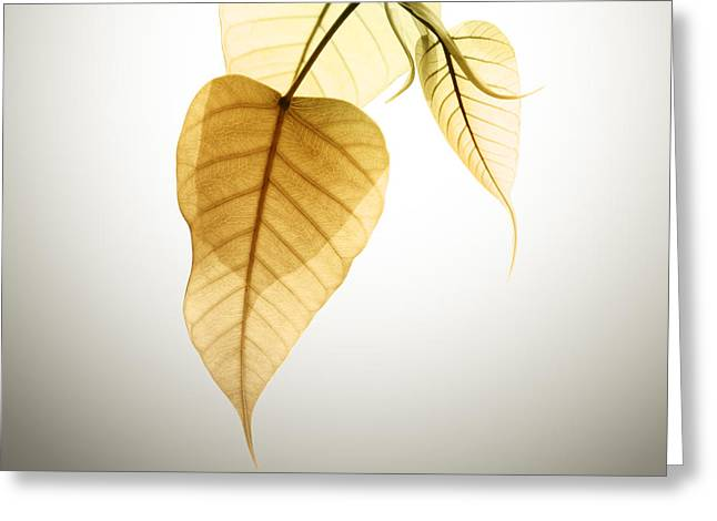 Organic Photographs Greeting Cards - Pho Or Bodhi Greeting Card by Atiketta Sangasaeng