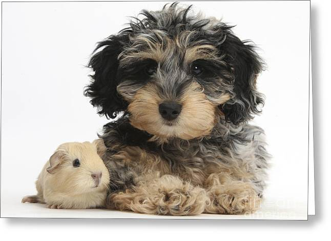 Cavy Greeting Cards - Puppy And Guinea Pig Greeting Card by Mark Taylor