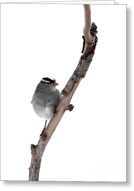 White-throated Sparrow Greeting Card by Jack R Brock