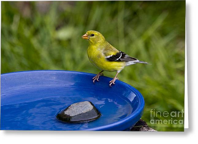 Canary Yellow Greeting Cards - American Goldfinch Greeting Card by Linda Freshwaters Arndt