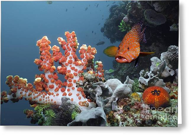 Sea Animals Greeting Cards - Coral Hind Grouper Greeting Card by Georgette Douwma