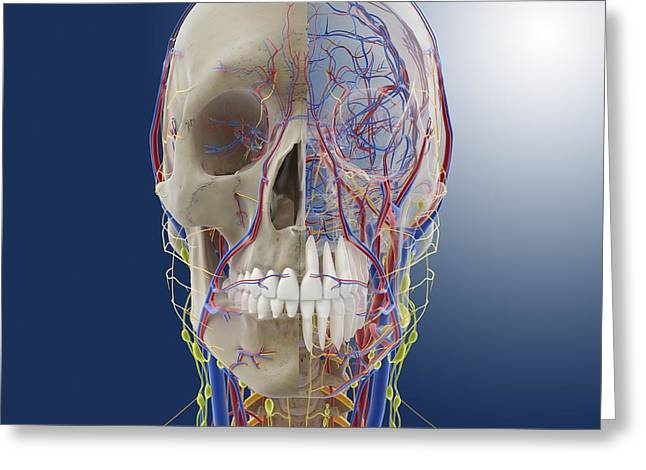 Ethmoid Bone Greeting Cards - Head and neck anatomy, artwork Greeting Card by Science Photo Library