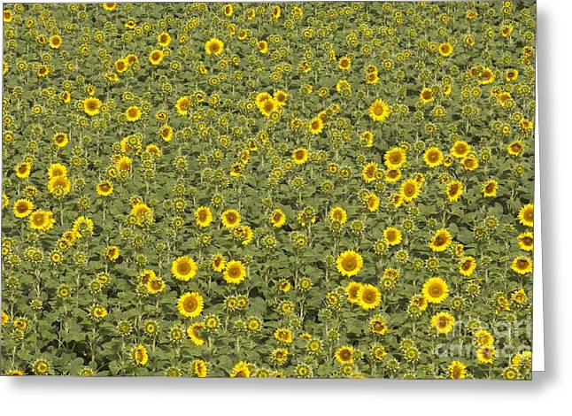Many Greeting Cards - Sunflowers Greeting Card by Angel Fitor