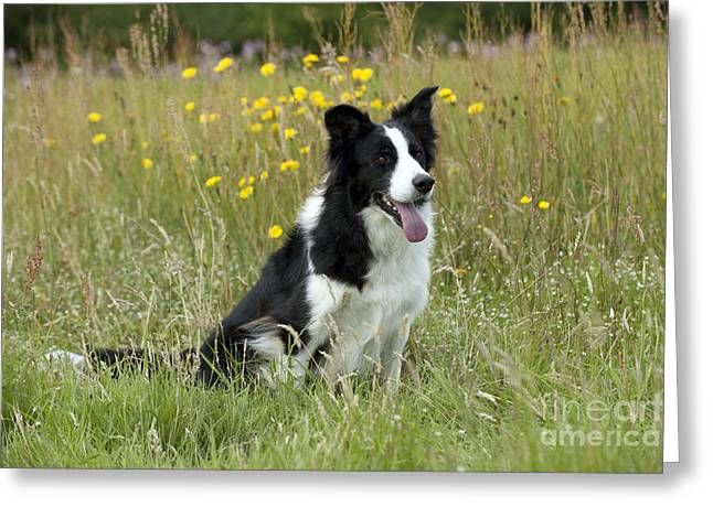 Panting Dog Greeting Cards - Border Collie Greeting Card by John Daniels