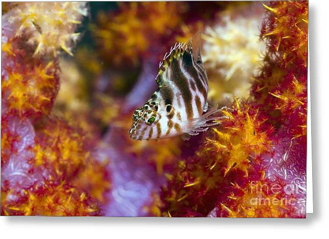 Brightly Colored Fish Greeting Cards - Coral Hind Grouper Greeting Card by Georgette Douwma