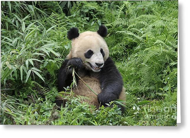Ailuropoda Melanoleuca Greeting Cards - Giant Panda Greeting Card by John Shaw