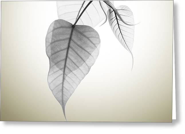 Leaves Greeting Cards - Pho Or Bodhi Greeting Card by Atiketta Sangasaeng