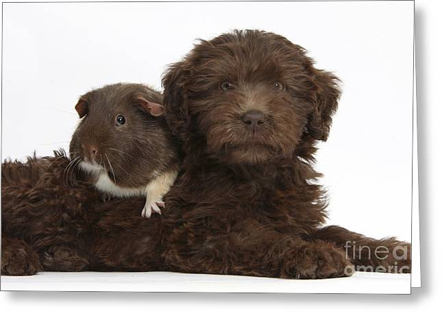 House Pet Greeting Cards - Puppy And Guinea Pig Greeting Card by Mark Taylor
