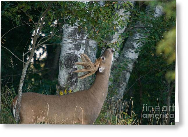 Fed Greeting Cards - White-tailed Buck Greeting Card by Linda Freshwaters Arndt