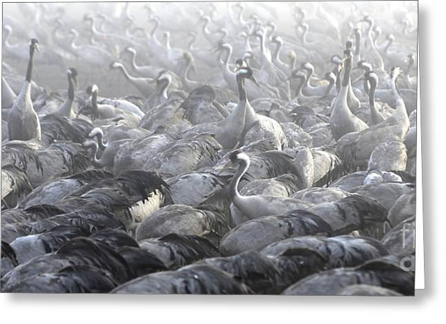 Amirp Greeting Cards -  flock of Common crane  Greeting Card by Amir Paz