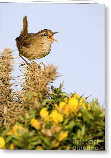 Plant Singing Greeting Cards - A Singing Wren Greeting Card by Duncan Shaw