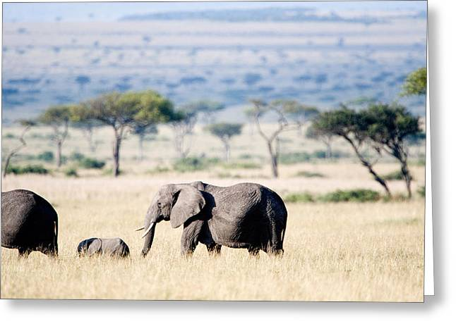 Acacia Tree Greeting Cards - African Elephant Loxodonta Africana Greeting Card by Panoramic Images