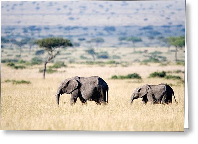 Following Greeting Cards - African Elephants Loxodonta Africana Greeting Card by Panoramic Images