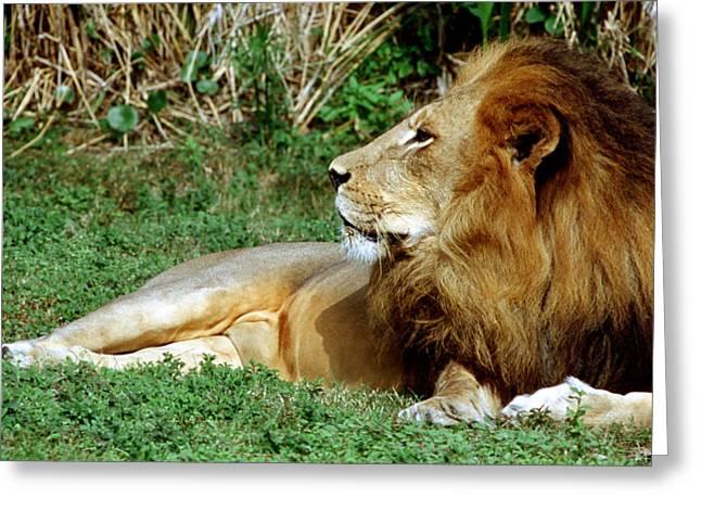 Jacksonville Greeting Cards - African Lion Greeting Card by Millard H Sharp