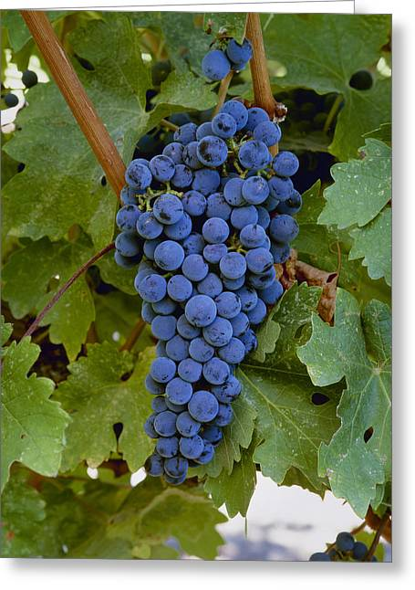Cabernet Sauvignon Greeting Cards - Agriculture - Closeup Of A Cluster Greeting Card by Charles Blakeslee
