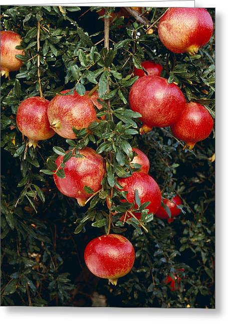 The Trees Greeting Cards - Agriculture - Mature, Harvest Ready Greeting Card by Ed Young