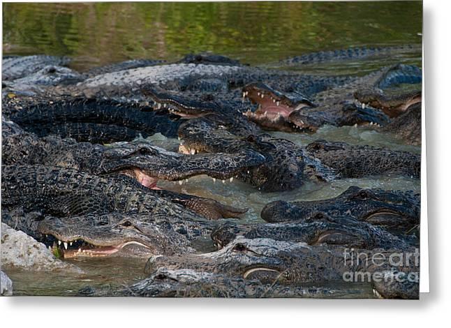 Alligator Farm Greeting Cards - Alligators Greeting Card by Mark Newman
