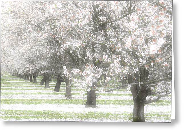 Seasonal Bloom Greeting Cards - Almond Orchard Greeting Card by Carol Leigh