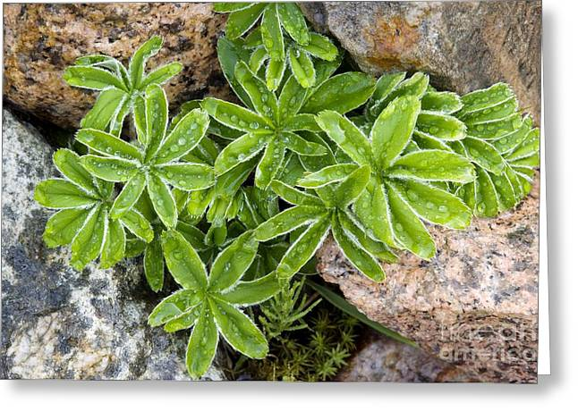 Dewdrops Greeting Cards - Alpine Ladys Mantle Alchemilla Alpina Greeting Card by Duncan Shaw