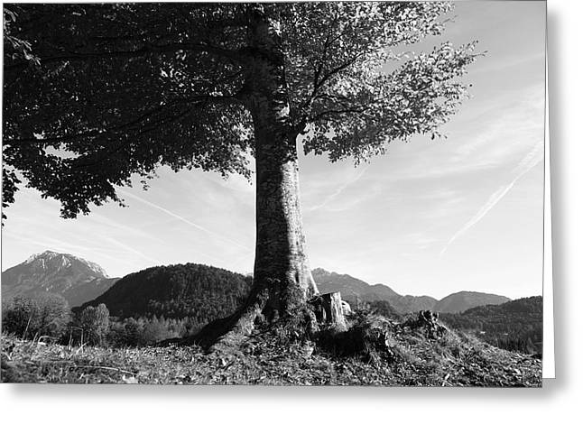Berges Greeting Cards - Alpine tree Greeting Card by Falko Follert