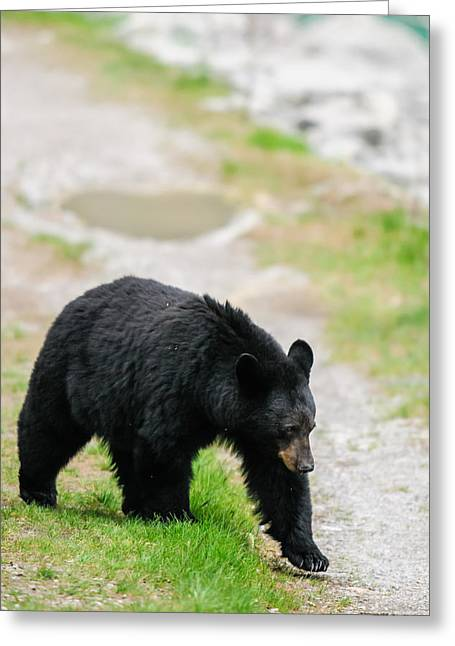 Roadway Greeting Cards - American Black Bear  Greeting Card by Brandon Smith