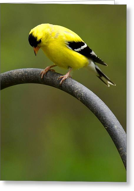 Bird Brain Greeting Cards - American Goldfinch Greeting Card by Robert L Jackson