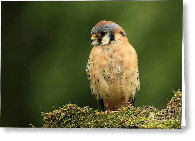 Shelley Myke Greeting Cards - American Kestrel Greeting Card by Inspired Nature Photography By Shelley Myke