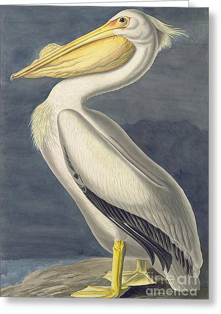 Wild Life Drawings Greeting Cards - American White Pelican Greeting Card by Celestial Images