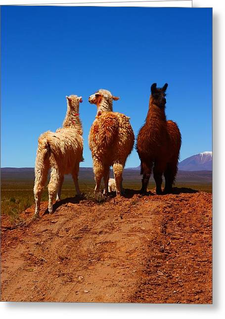 Llamas Greeting Cards - 3 Amigos Greeting Card by FireFlux Studios