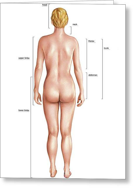 Anatomical Differences Between Sexes Greeting Card by Asklepios Medical Atlas