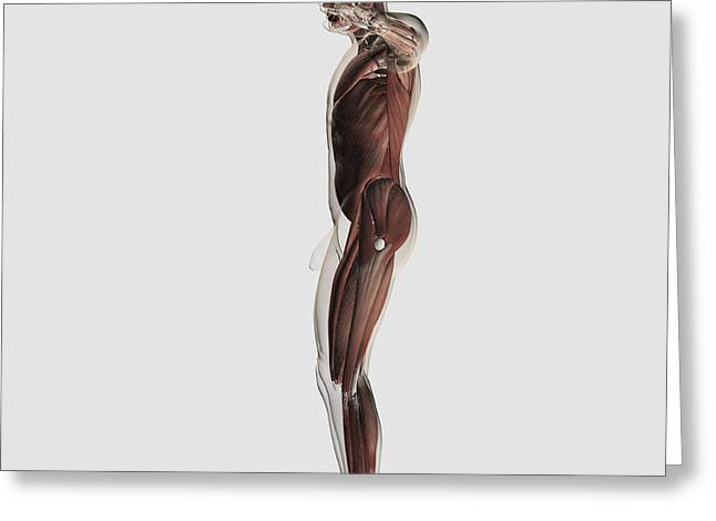 Human Arm Greeting Cards - Anatomy Of Male Muscular System, Side Greeting Card by Stocktrek Images