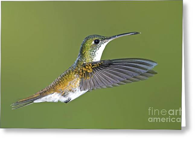 Andean Greeting Cards - Andean Emerald Hummingbird Greeting Card by Tony Camacho