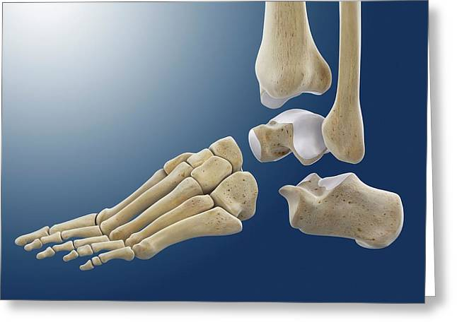 Ankle Joint Anatomy Greeting Card by Springer Medizin