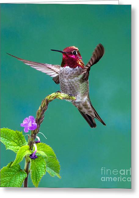 Flying Animal Greeting Cards - Annas Hummingbird Greeting Card by Anthony Mercieca