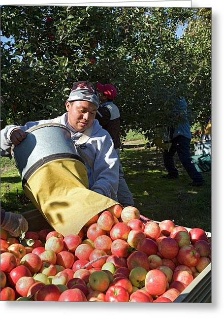 Apple Harvest Greeting Card by Jim West