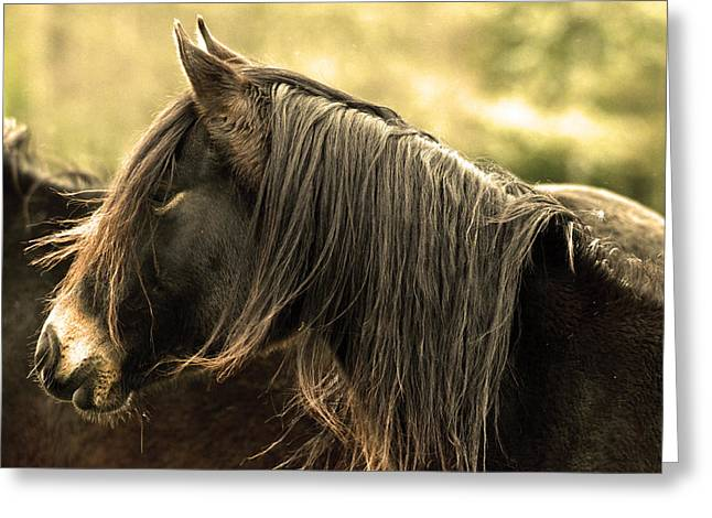 Virtuous Greeting Cards - Arabian Horse Greeting Card by Toppart Sweden