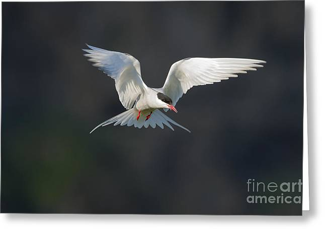 Tern Greeting Cards - Arctic Tern Greeting Card by John Shaw