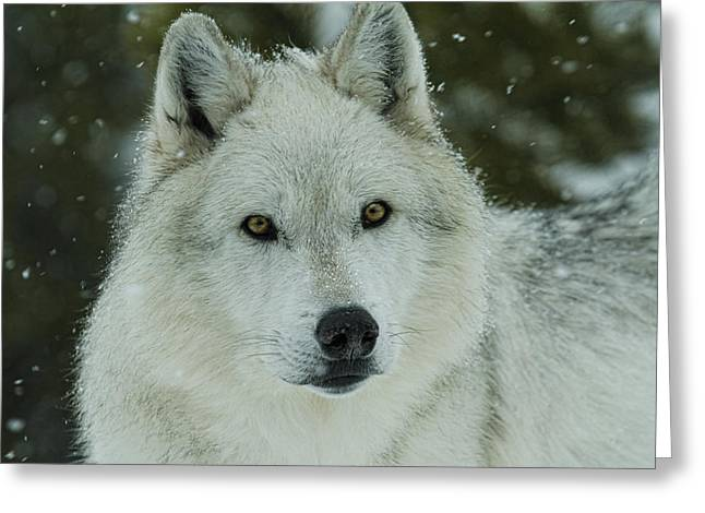 Preditor Greeting Cards - Arctic Wolf Greeting Card by Steve McKinzie