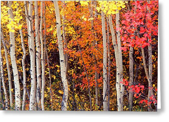 Aspens In Autumn Leaves Greeting Cards - Aspen And Black Hawthorn Trees Greeting Card by Panoramic Images
